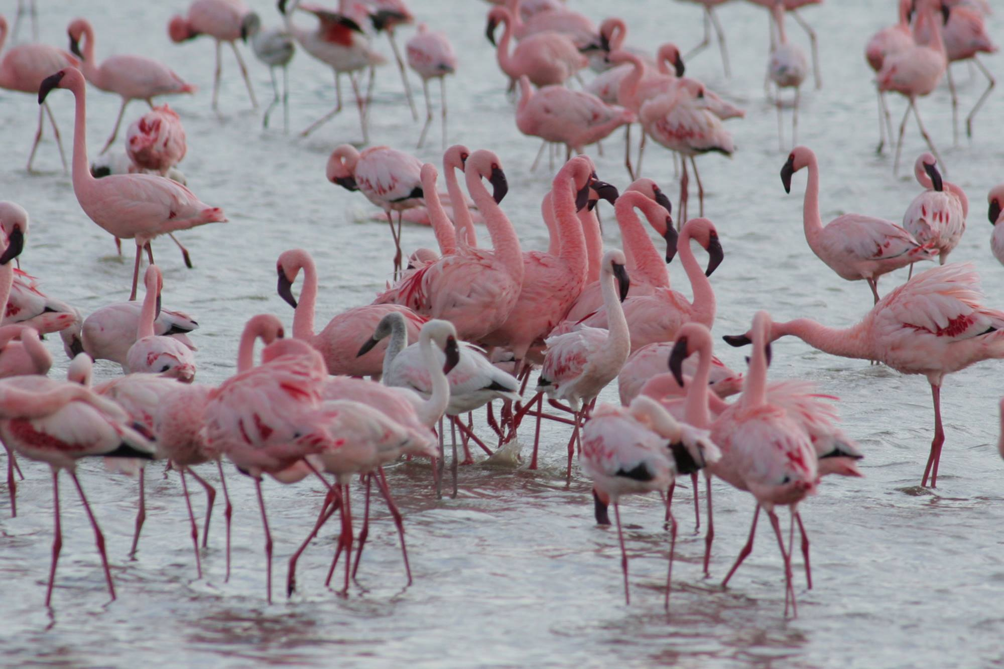 Flamingos at Lake Manyara